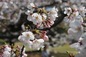 今年は桜見れんかった
